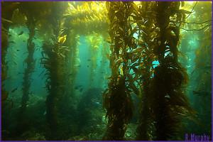 KelpForest1