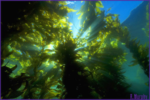 KelpForest1b